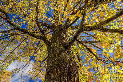 Photograph - Maple by Anthony Heflin