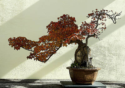 Maple Bonsai Art Print