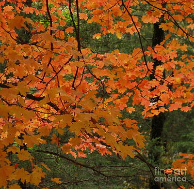 Photograph - Maple Cedar by Fred Sheridan