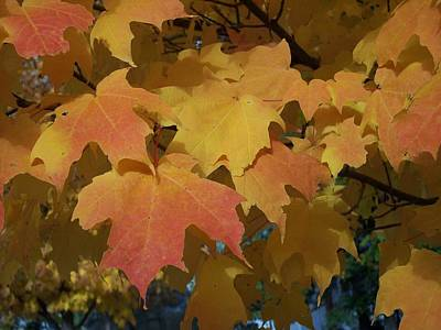 Photograph - Maple Color by Georgia Hamlin