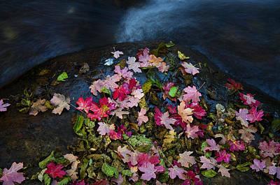 Pink Confetti Photograph - Maple Confetti Creekside  by Saija  Lehtonen