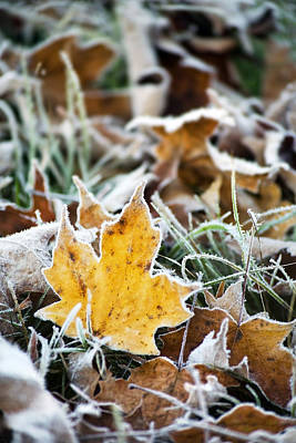 Photograph - Maple Frost Leaf Art by Christina Rollo