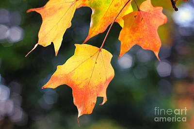 Photograph - Maple In Wind by Charline Xia