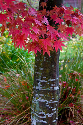 Photograph - Maple by Jenny Setchell