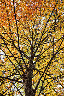 Photograph - Maple by John Crothers
