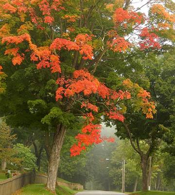 Photograph - Maple Lane by Wild Thing