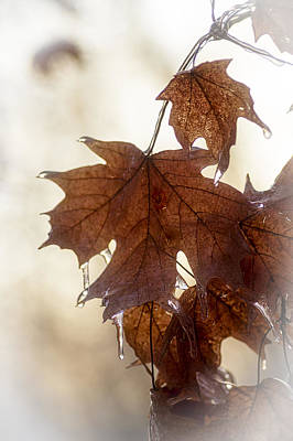 Photograph - Maple Leaf And Ice by Wayne Meyer