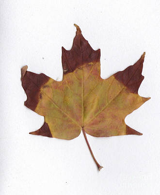 Photograph - Maple Leaf by Andre Paquin