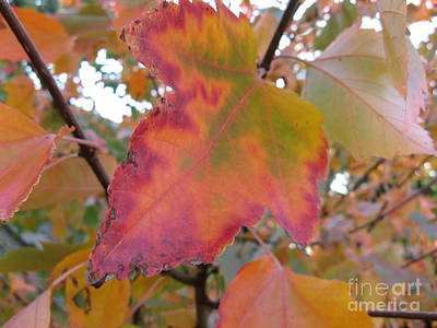 Photograph - Maple Leaf Autumn by Marlene Rose Besso
