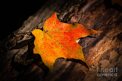 Photograph - Maple Leaf by Bianca Nadeau