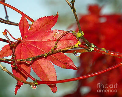 Photograph - Maple Leaf by Chuck Flewelling