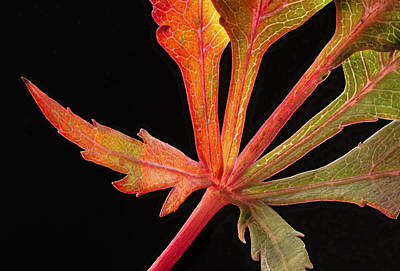 Photograph - Maple Leaf Detail by Jean Noren