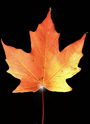 Photograph - maple leaf II by Patrick Boening
