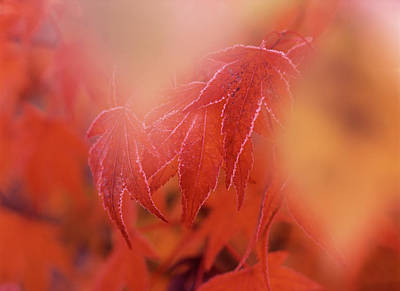 Large Format Photograph - Maple Leaf In Autumn, Close-up (large by Stuart Westmorland