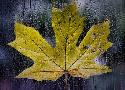 Photograph - Maple Leaf In The Morning Rain by Don Schwartz