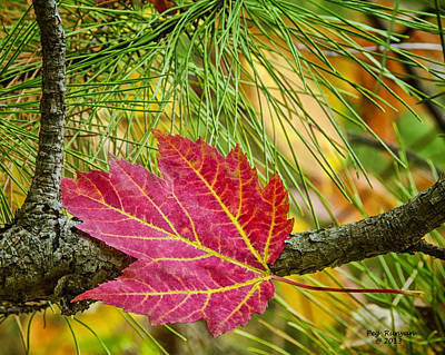 Photograph - Maple Leaf In The Pines by Peg Runyan