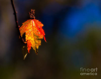 Photograph - Maple Leaf by Ken Frischkorn