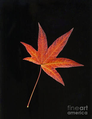 Scanography Photograph - Maple Leaf On Black 2 by Sharon Talson
