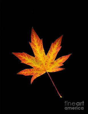 Photograph - Maple Leaf On Black by Sharon Talson