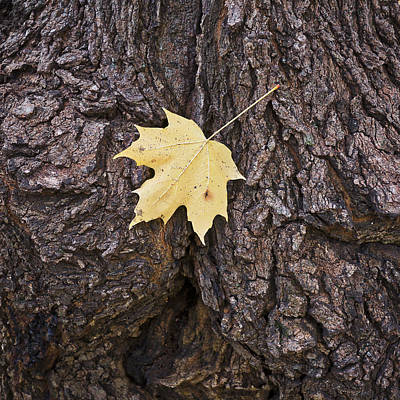 Photograph - Maple Leaf On Log by Steven Ralser