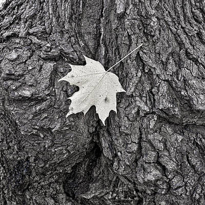 Photograph - Maple Leaf On Stump by Steven Ralser