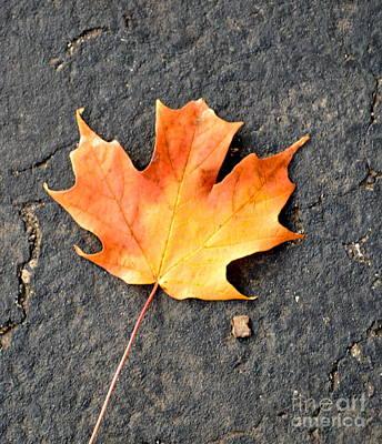 Photograph - Maple Leaf by Pamela Walrath