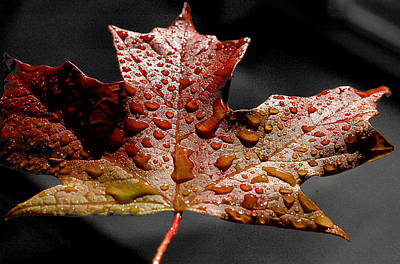 Photograph - Maple Leaf by Patrick Boening