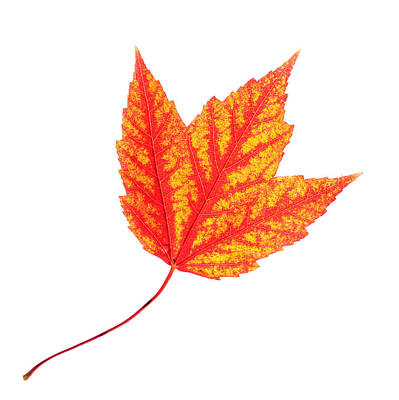 Painting - Maple Leaf by Paul Ge
