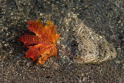 Photograph - Maple Leaf - Playful Sunlight Patterns by Georgia Mizuleva