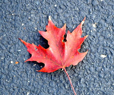 Photograph - Maple Leaf Red by Pamela Walrath