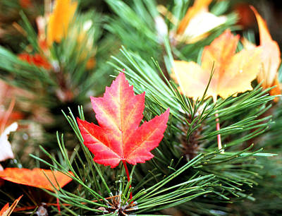 Photograph - Maple Leaf by Robert  Rodvik