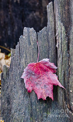 Photograph - Maple Leaf - Uw Arboretum - Madison by Steven Ralser