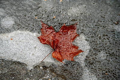 Photograph - Maple Leaf Under Ice by Carolyn Reinhart