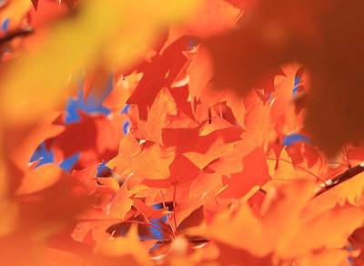 Photograph - Maple Leaves by Michael Saunders