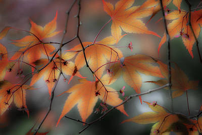 Photograph - Maple Leaves 2 by Mikael Carstanjen