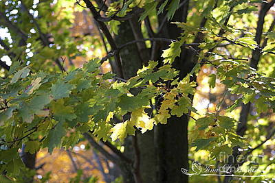 Photograph - Maple Leaves 20121020_1_184 by Tina Hopkins