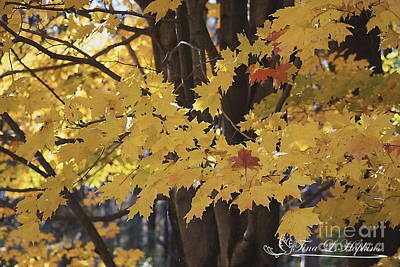 Photograph - Maple Leaves 20121020_1_186 by Tina Hopkins