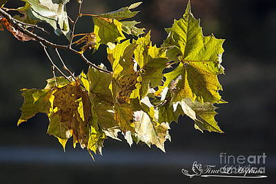 Photograph - Maple Leaves 20121020_1_24 by Tina Hopkins