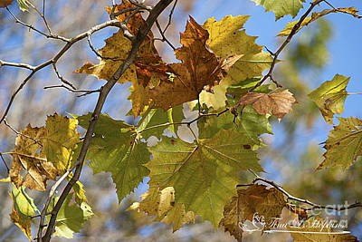Photograph - Maple Leaves 20121020_29 by Tina Hopkins