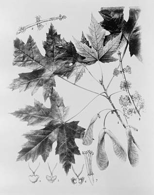Maple Leaves And Seeds Art Print by Granger