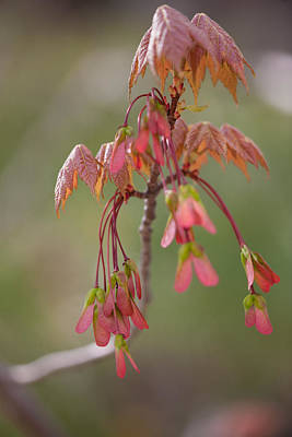 Photograph - Maple Leaves by Bernard Lynch