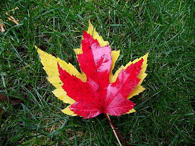 Photograph - Maple Leaves by Brian Chase