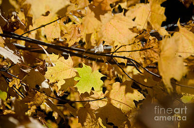 Photograph - Maple Leaves by Cassie Marie Photography