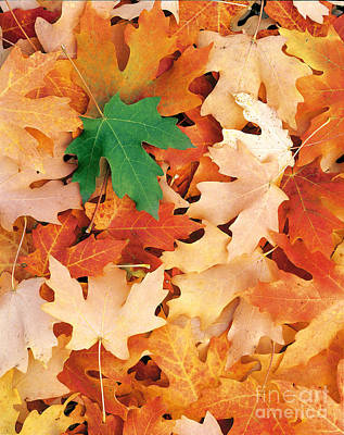 Photograph - Maple Leaves by Dennis Flaherty