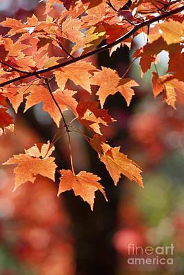 Photograph - Maple Leaves II by Steven Ralser
