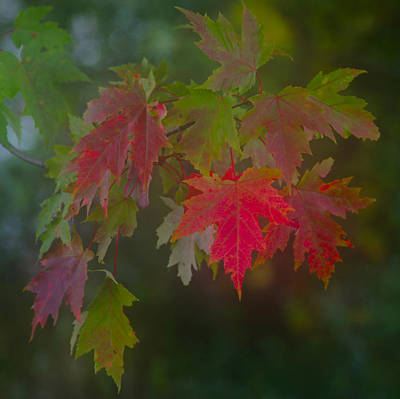 Photograph - Maple Leaves In Autumn by Jim Vance