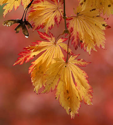Photograph - Maple Leaves In Fall by Inge Riis McDonald