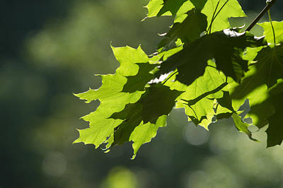 Maple Leaves In Summer Art Print by Larry Bohlin