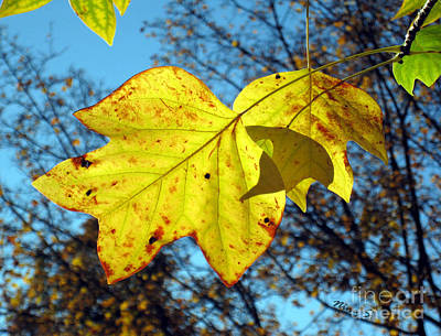 Photograph - Maple Leaves In Sunlight by Nina Silver