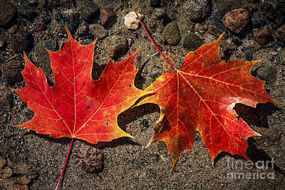 Maple Leaves In Water Art Print by Elena Elisseeva